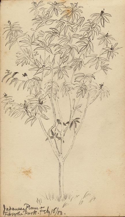 22. Japanese plum tree
