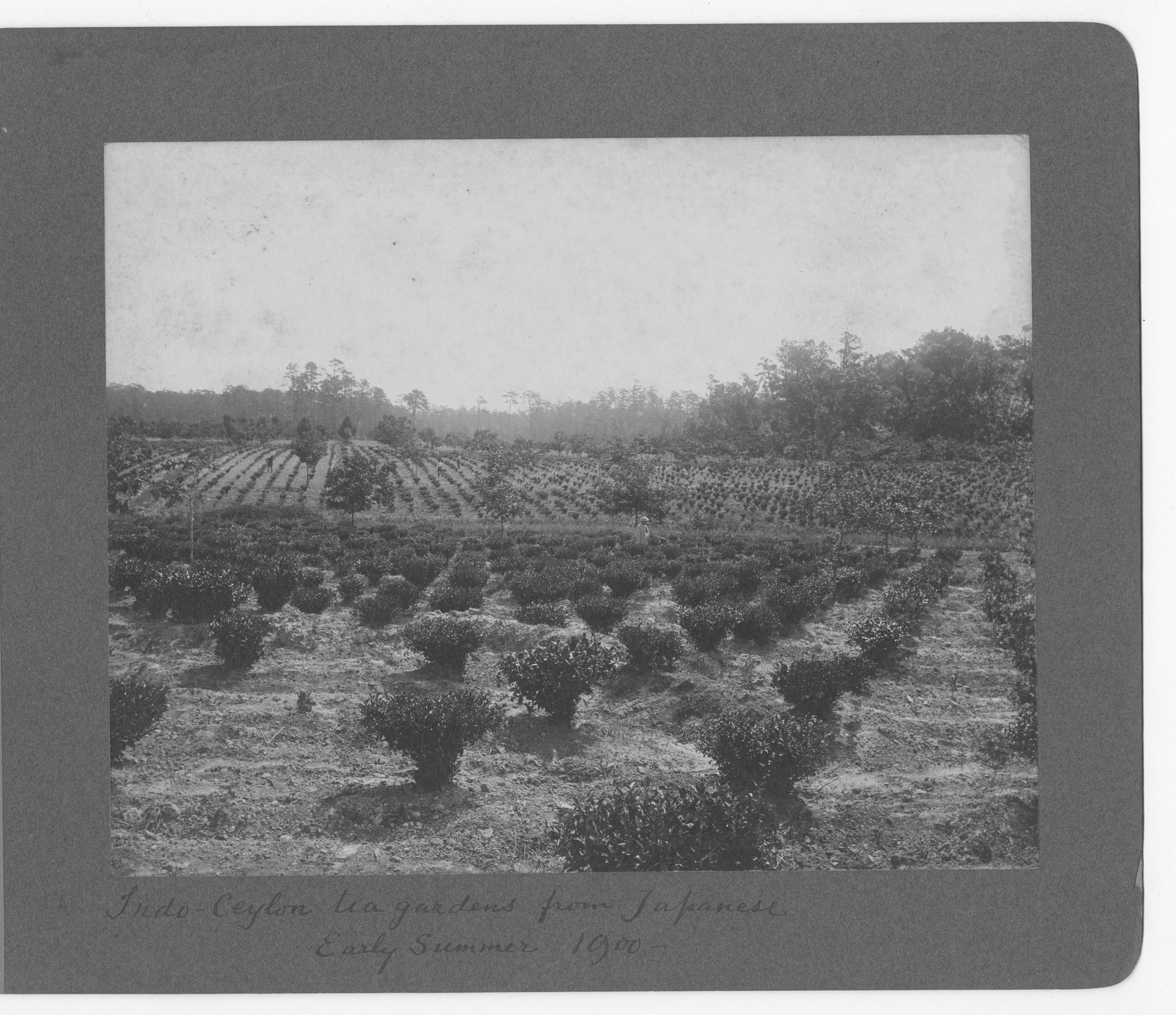 Pinehurst Tea Plantation Photograph Album, page 40