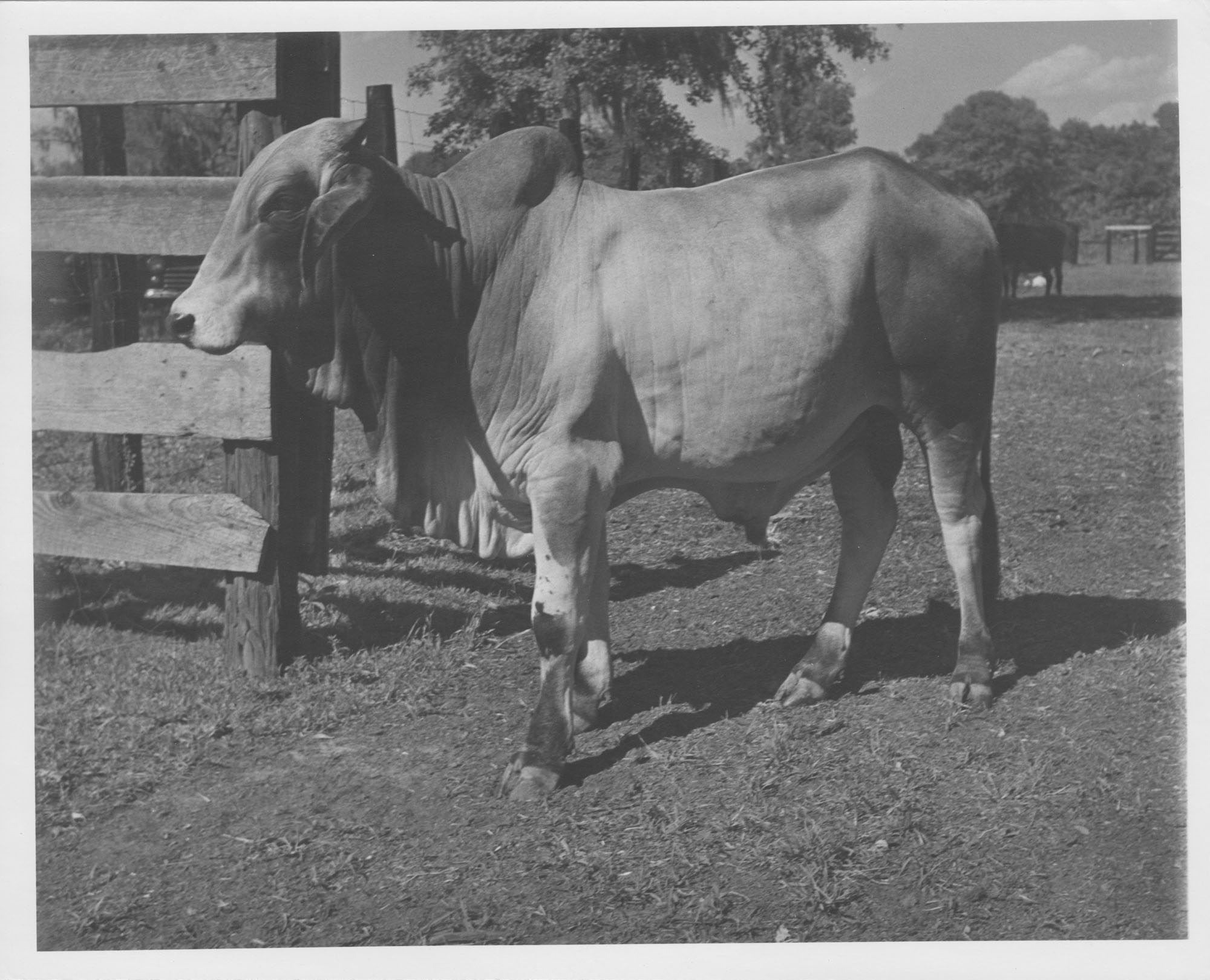 Photograph of a Nearby Cow