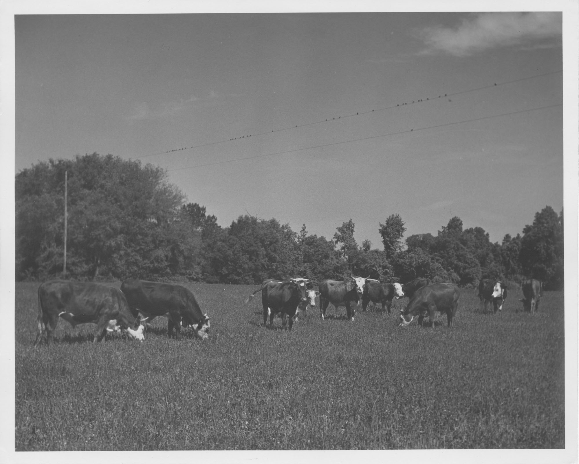 Photograph of Cattle Life on the Pasture