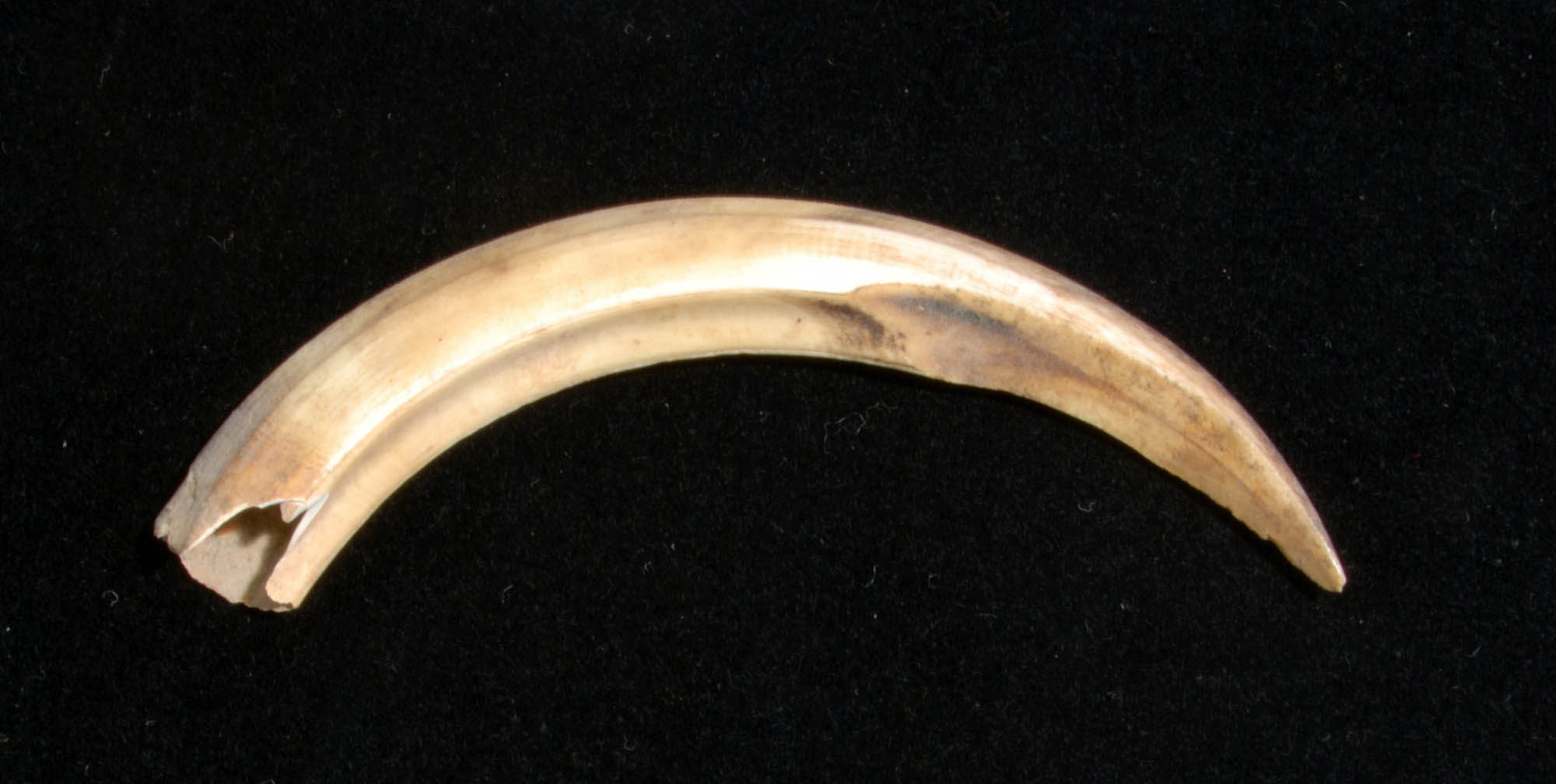 Boar tusk