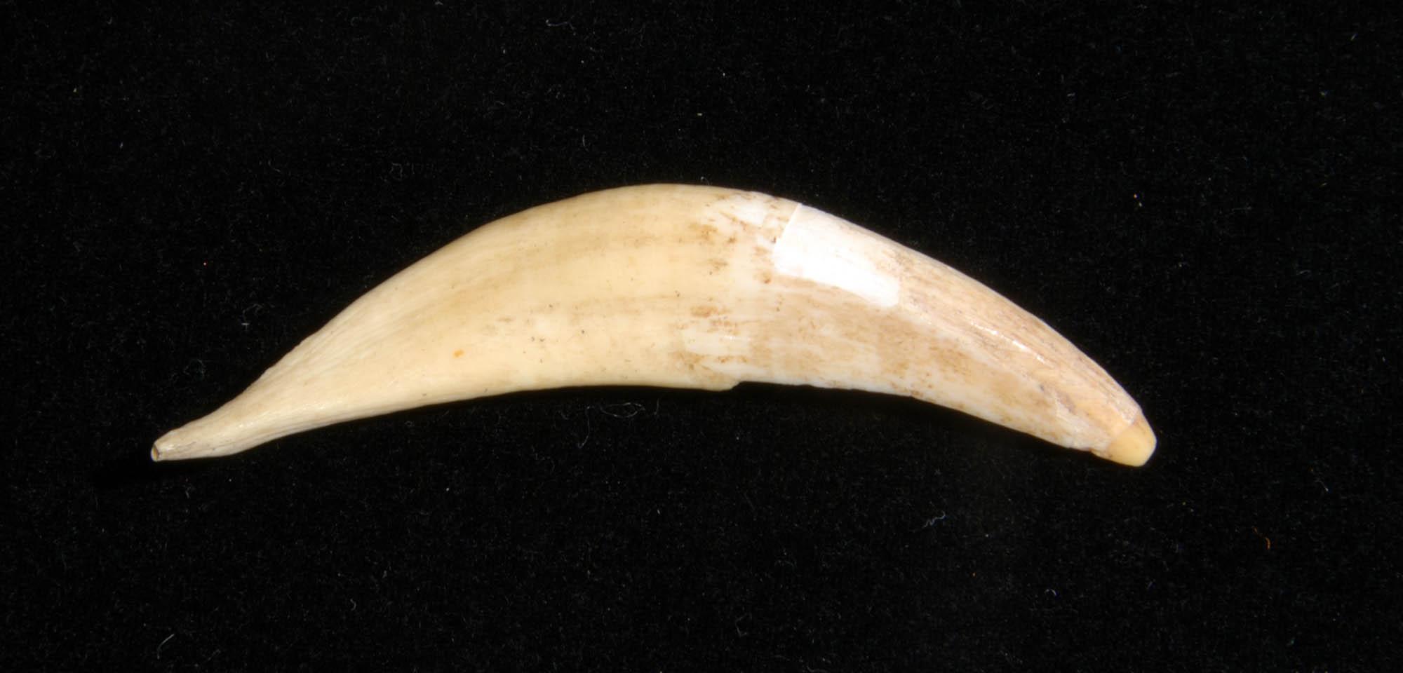 Animal tooth