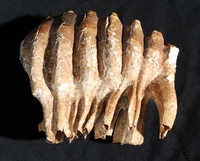 Fossilized elephant tooth