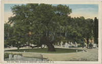 Old Oak Tree, Magnolia Cemetery, Charleston, S.C.
