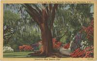 Old Oak Tree, Magnolia Gardens, near Charleston, S.C.