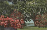 Famous Middleton Oak, Middleton Gardens, near Charleston, S.C.