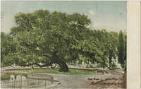 Oak Tree, Magnolia Cemetery, Charleston, S.C.