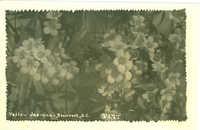Yellow Jasmine - Beaufort, S.C.