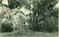 Moss Covered Oaks, Old Spanish Fort. Beaufort, S.C.