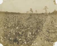 Short Cotton Field
