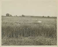 J.F. Maybank in a Rice Field