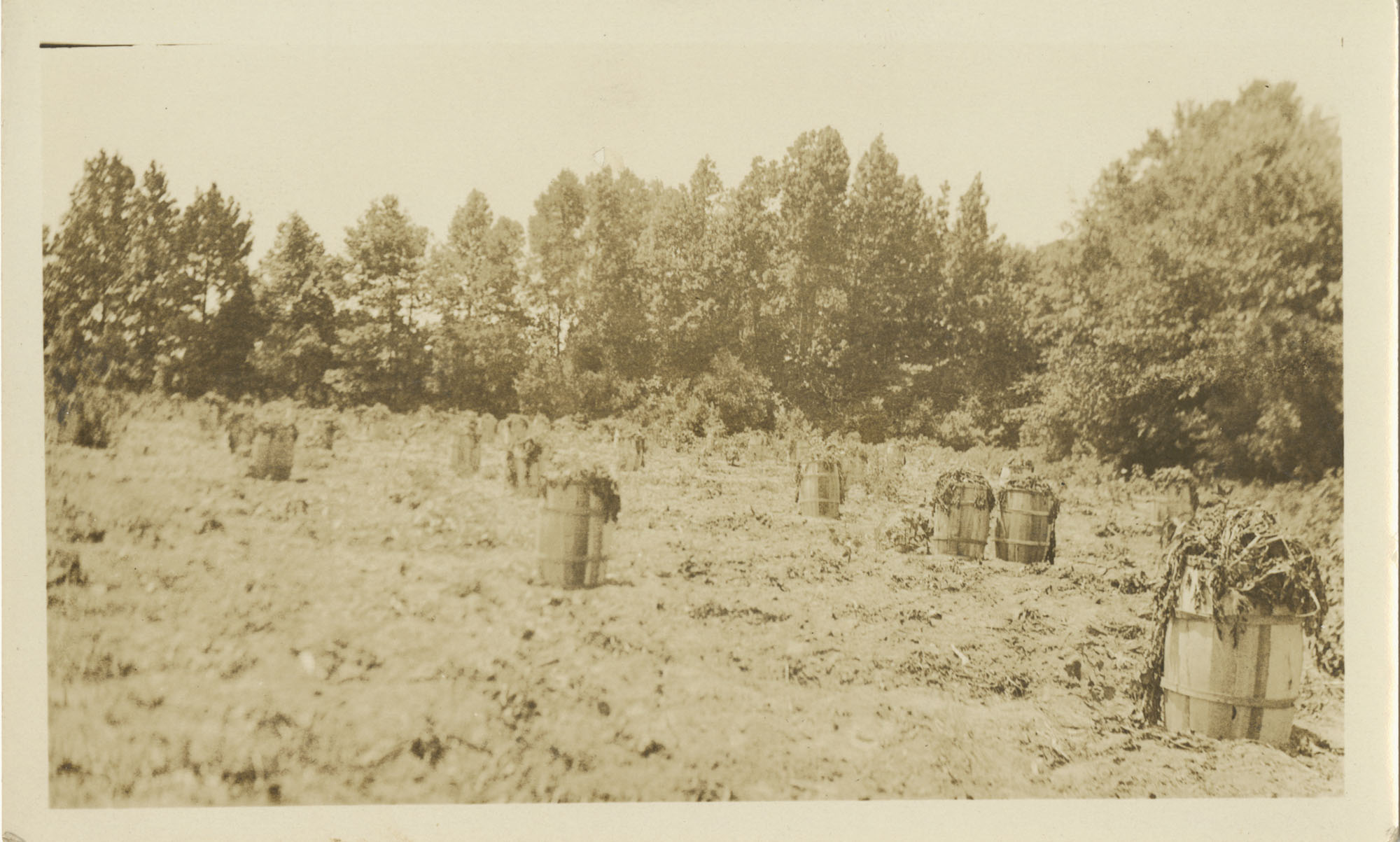 Barrels Full of Harvested Potatoes in the Field