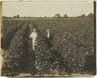 Two Men in Cotton Field
