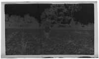 Negative of J.C. Seabrook in Snap Bean Field
