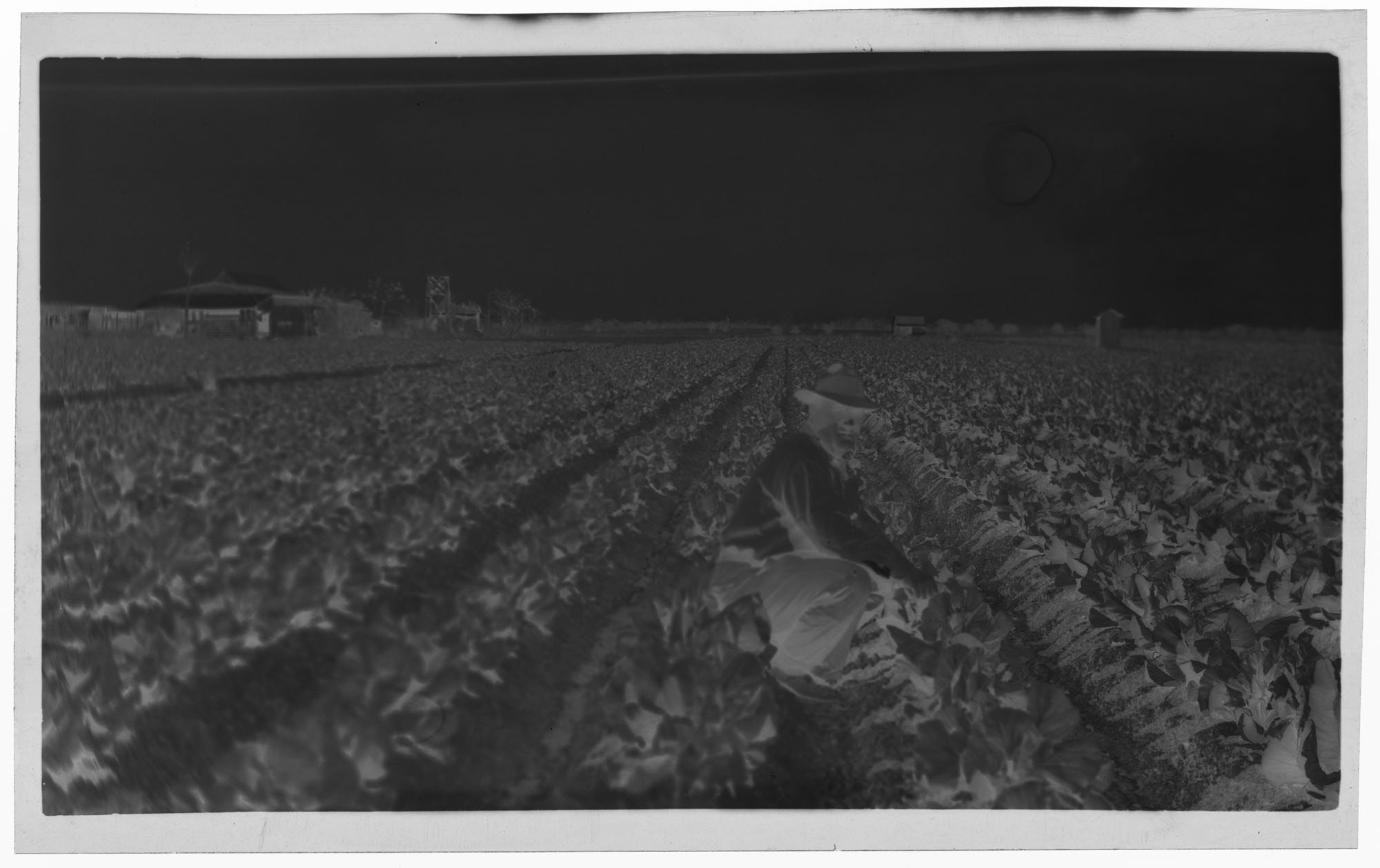 Negative of Cabbage