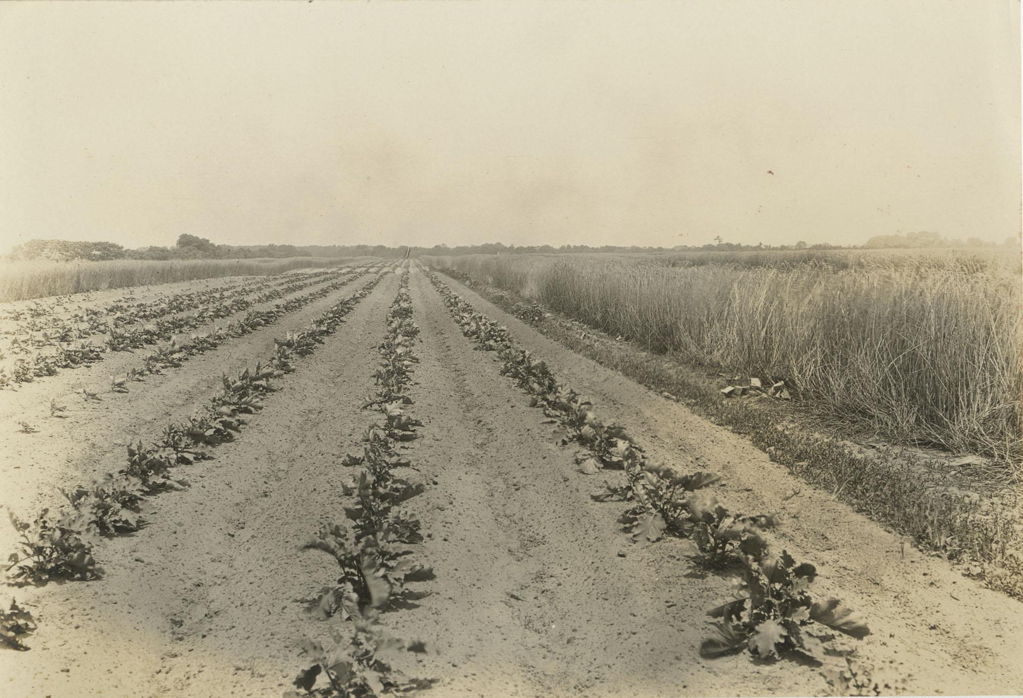 an Eggplant Field
