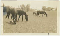 Horses Grazing at Gippy Plantation