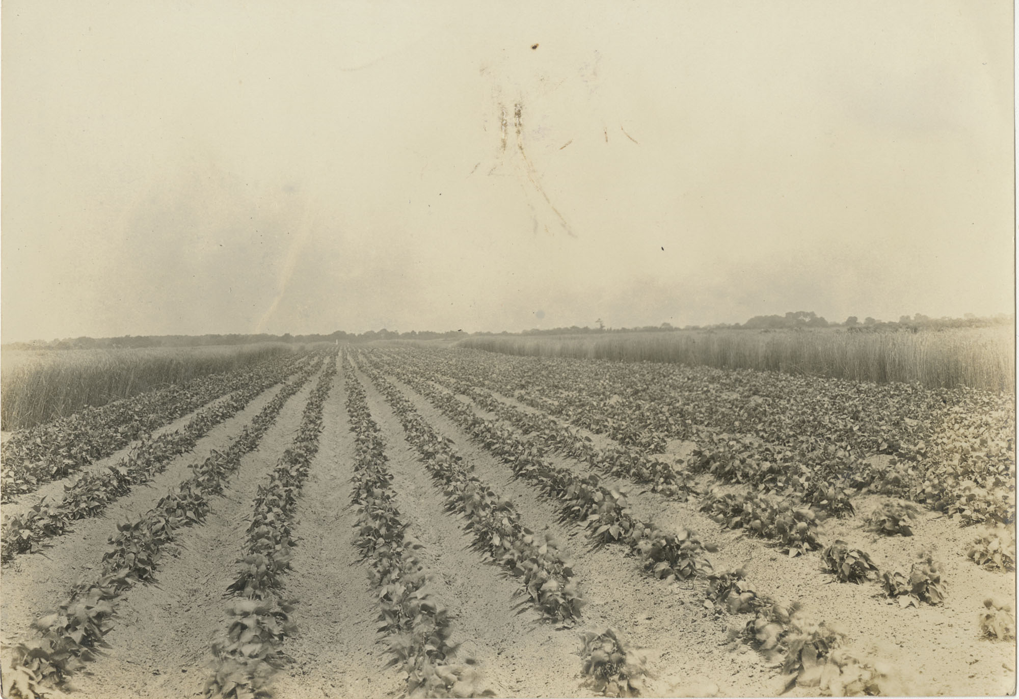 Fordhook Lima Bean Field