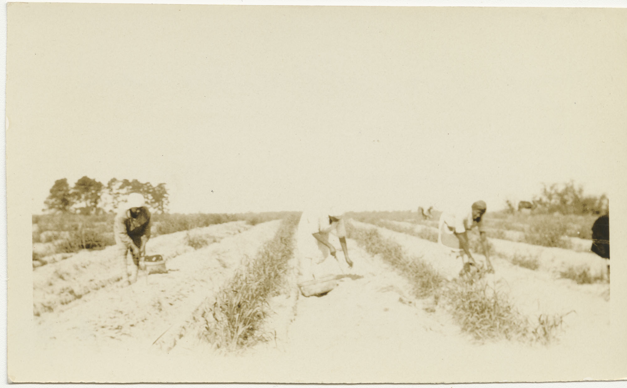 Laborers in Asparagus Field