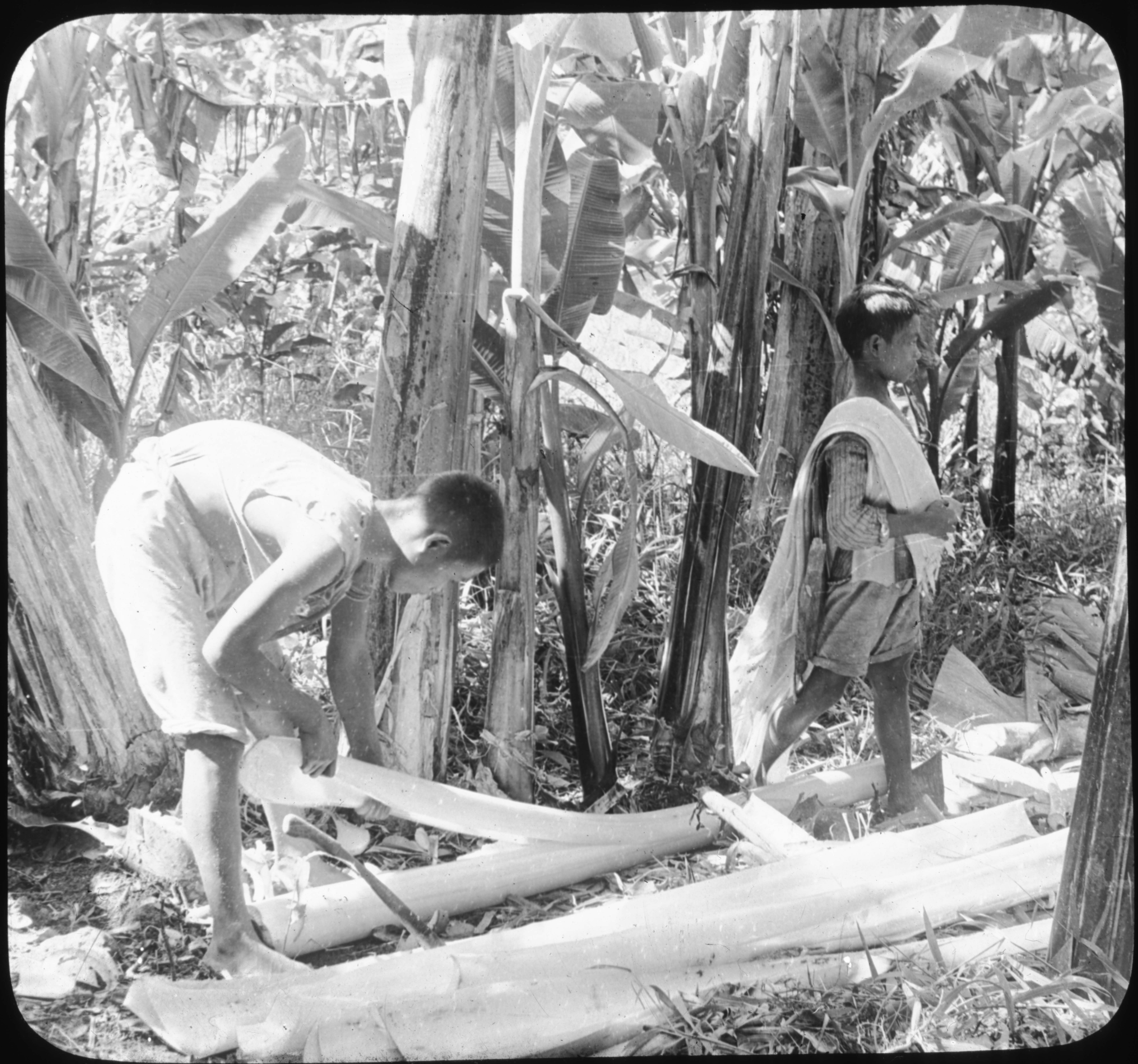 Manila Hemp Industry-Stripping the Tree, Philippines.