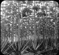 Sisal Hemp Plantation in Blossom, Uganda, Africa.