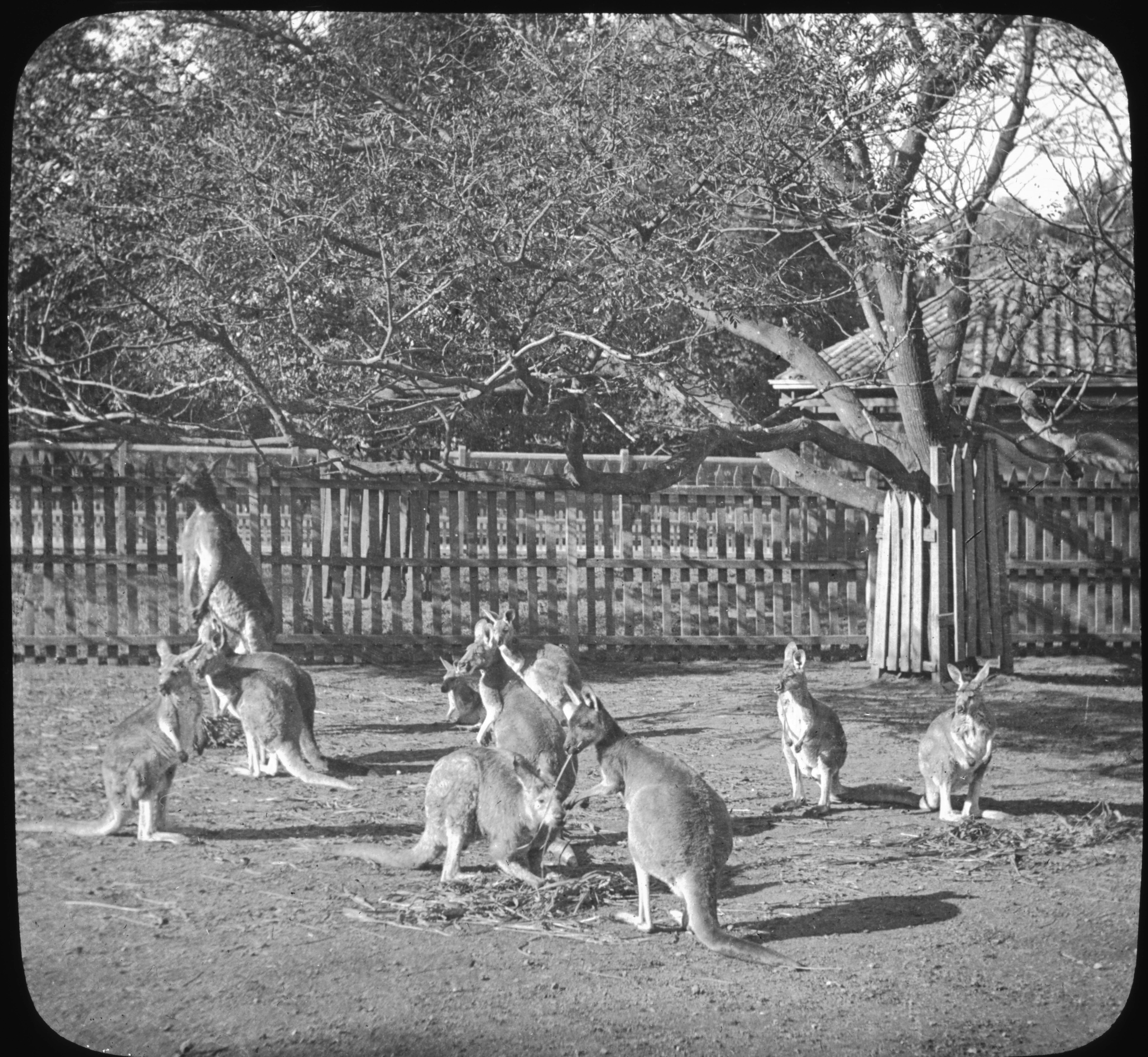 Kangaroos in The Zoological Garden, Adelaide, Australia.