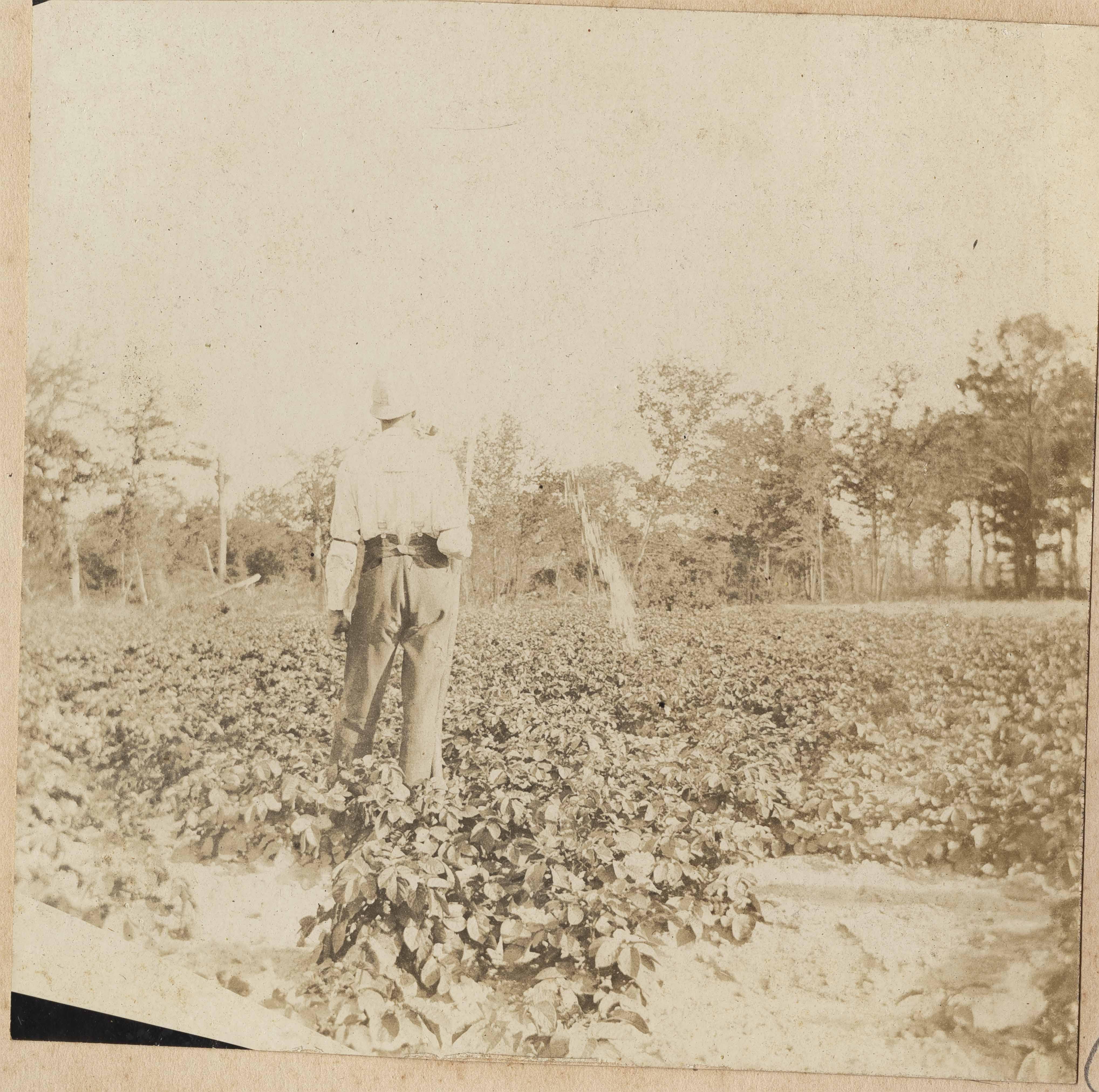 Man inspecting potato crop