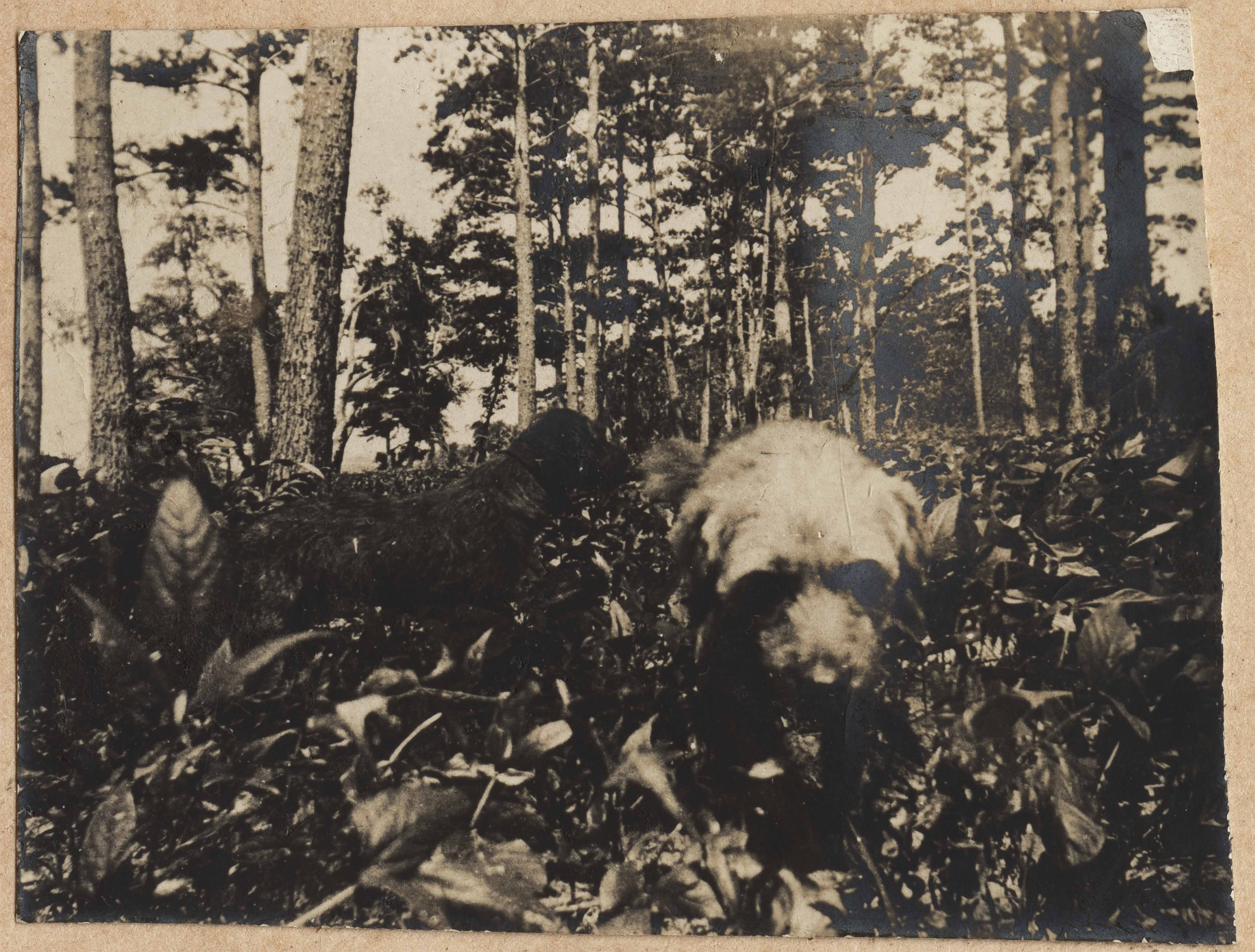 Dogs in the underbrush