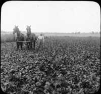 Cultivating a Field of Beets, Near Greeley, Colo.