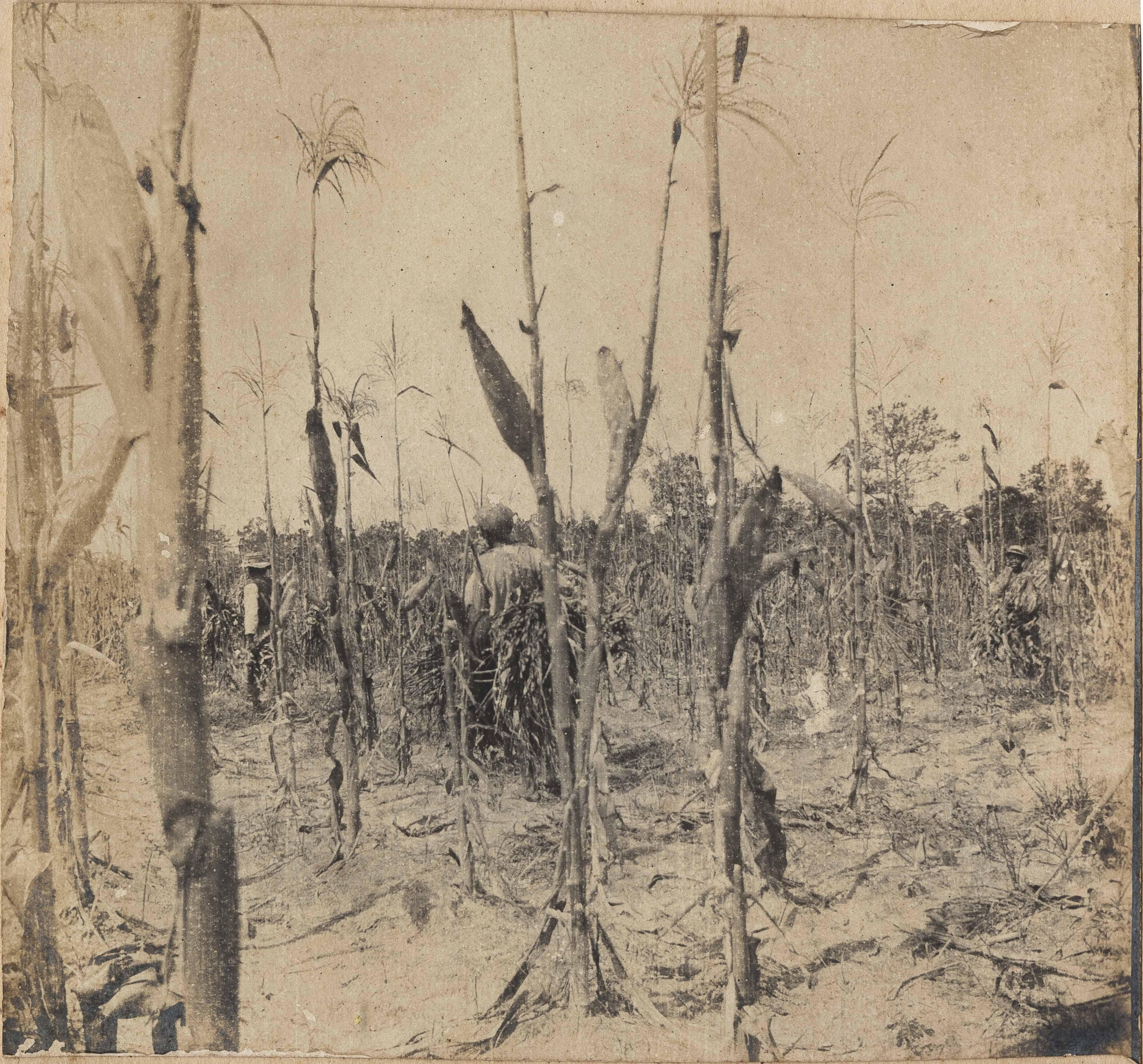 Men working in corn field