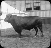 Aberdeen Angus, Noted Beef Breed, Scotland.