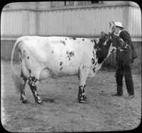 Ayrshire Type Dairy Cattle, Scotland
