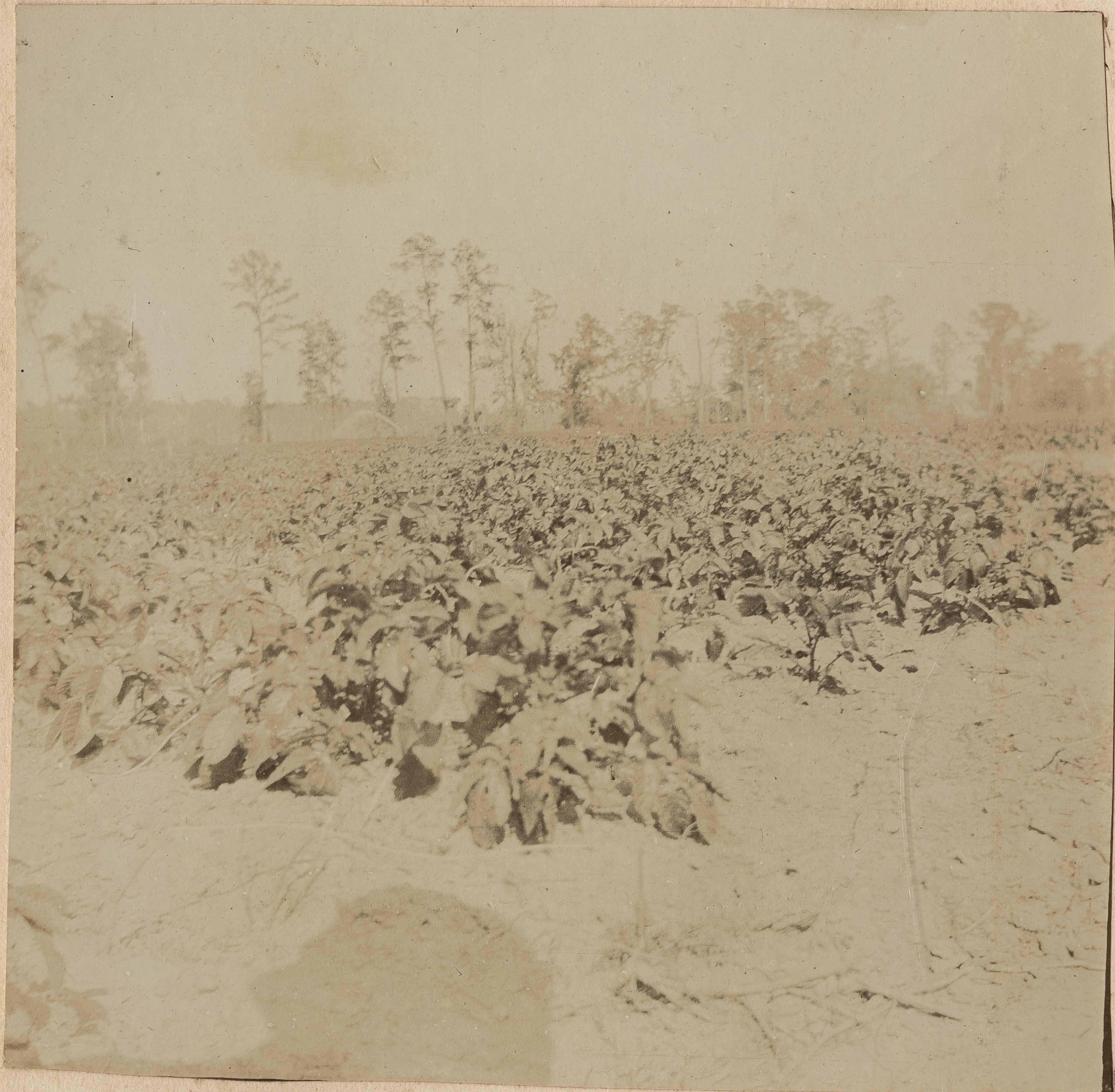 View of potato field