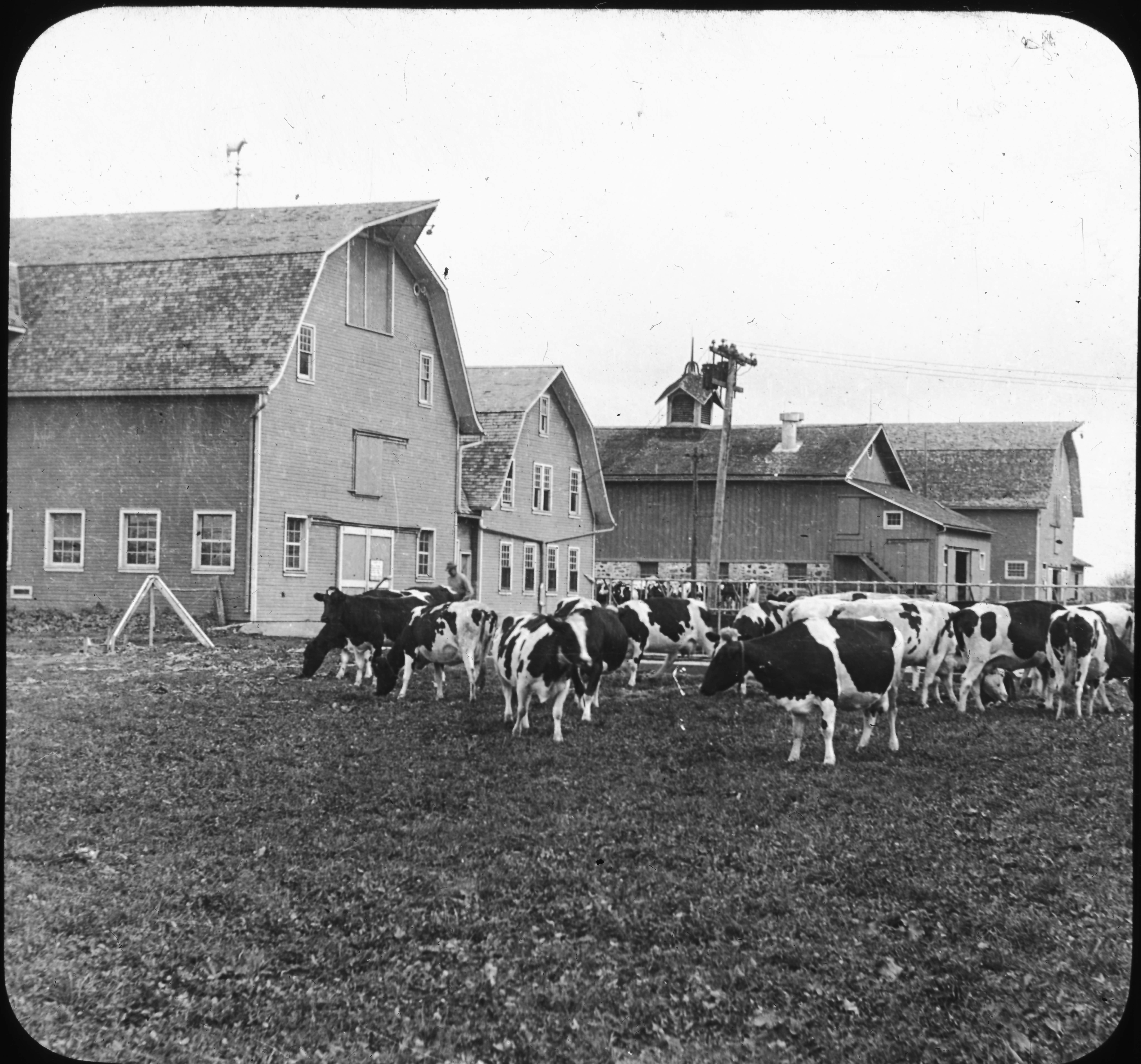 Dairy Barns and Herd of Holstein Cattle, Lakemills, Wis.