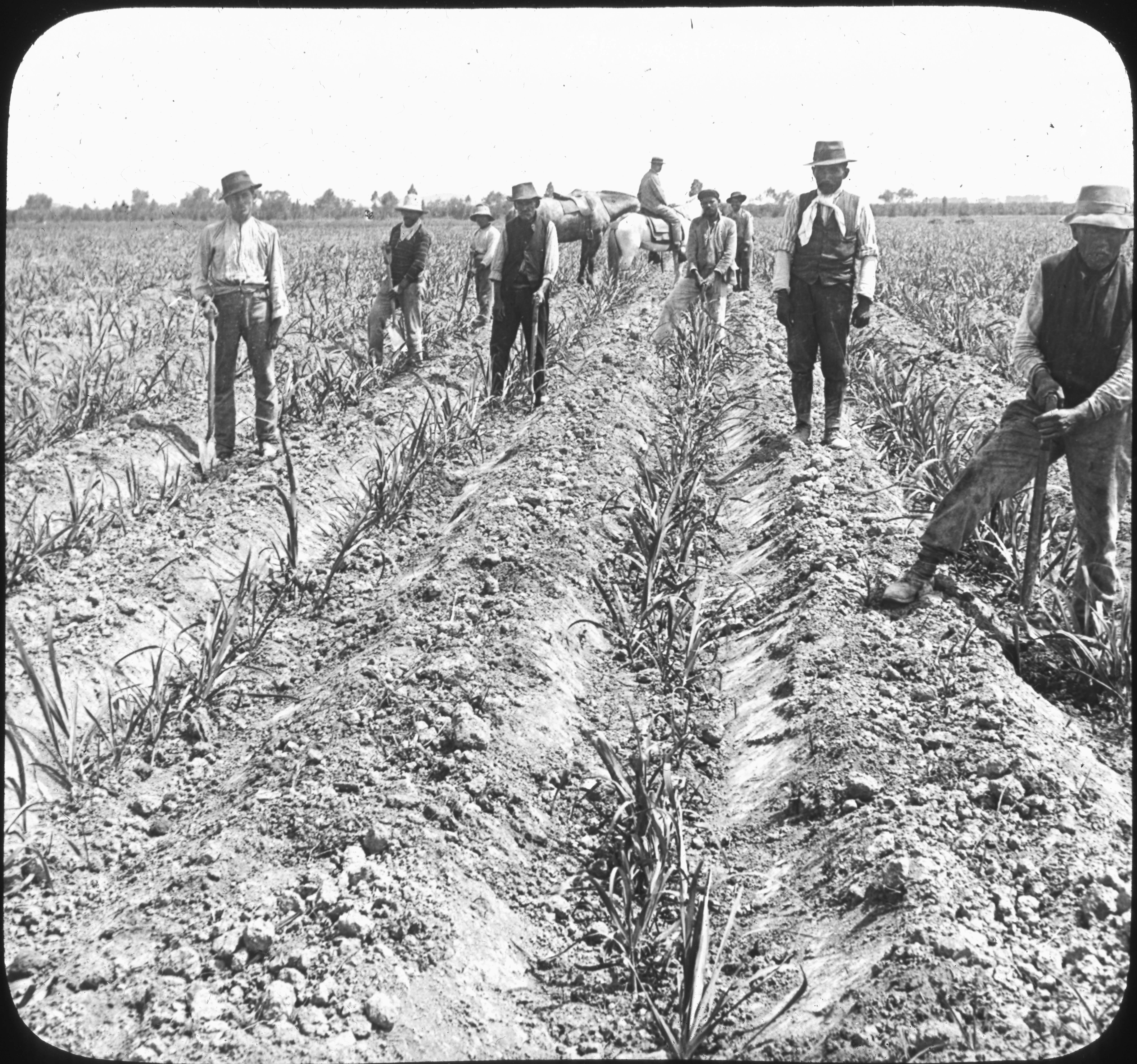 Replanting the Sugar Cane, Near Lima, Peru, So. Amer.