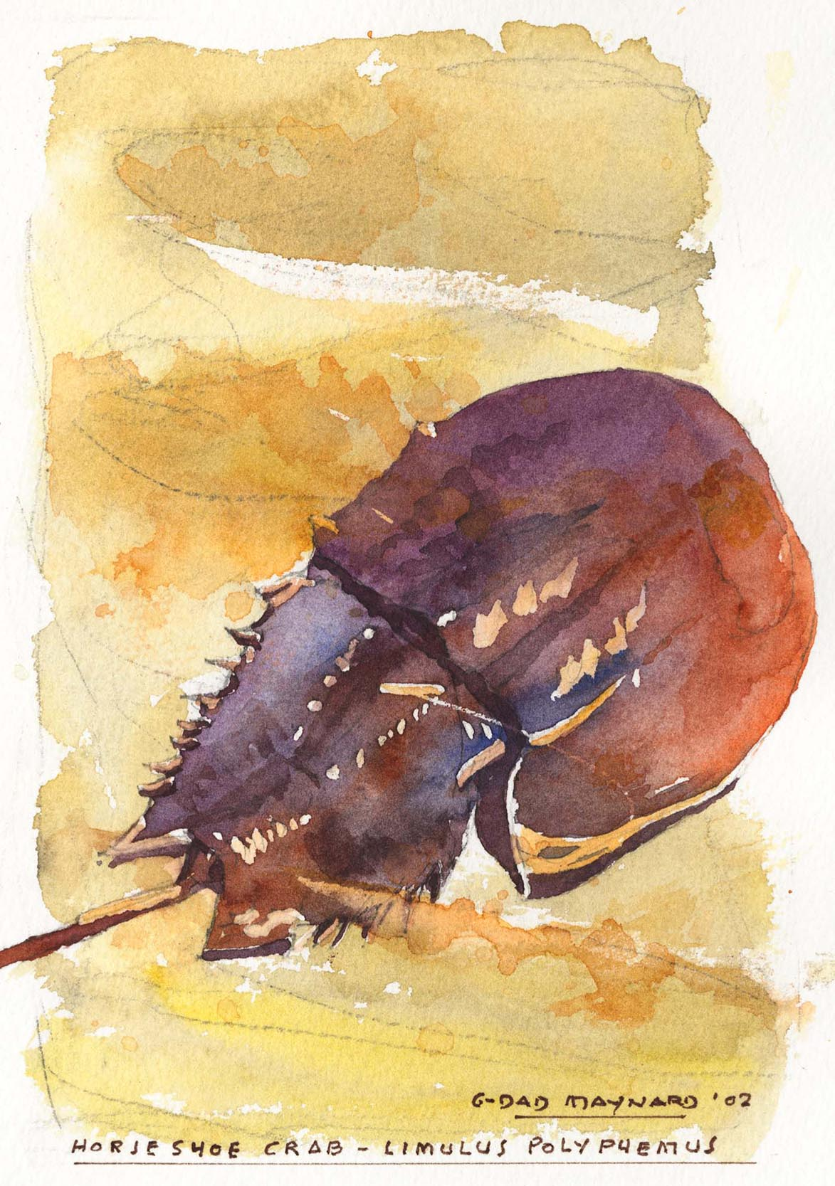 Horseshoe Crab - Limulus polyphemus