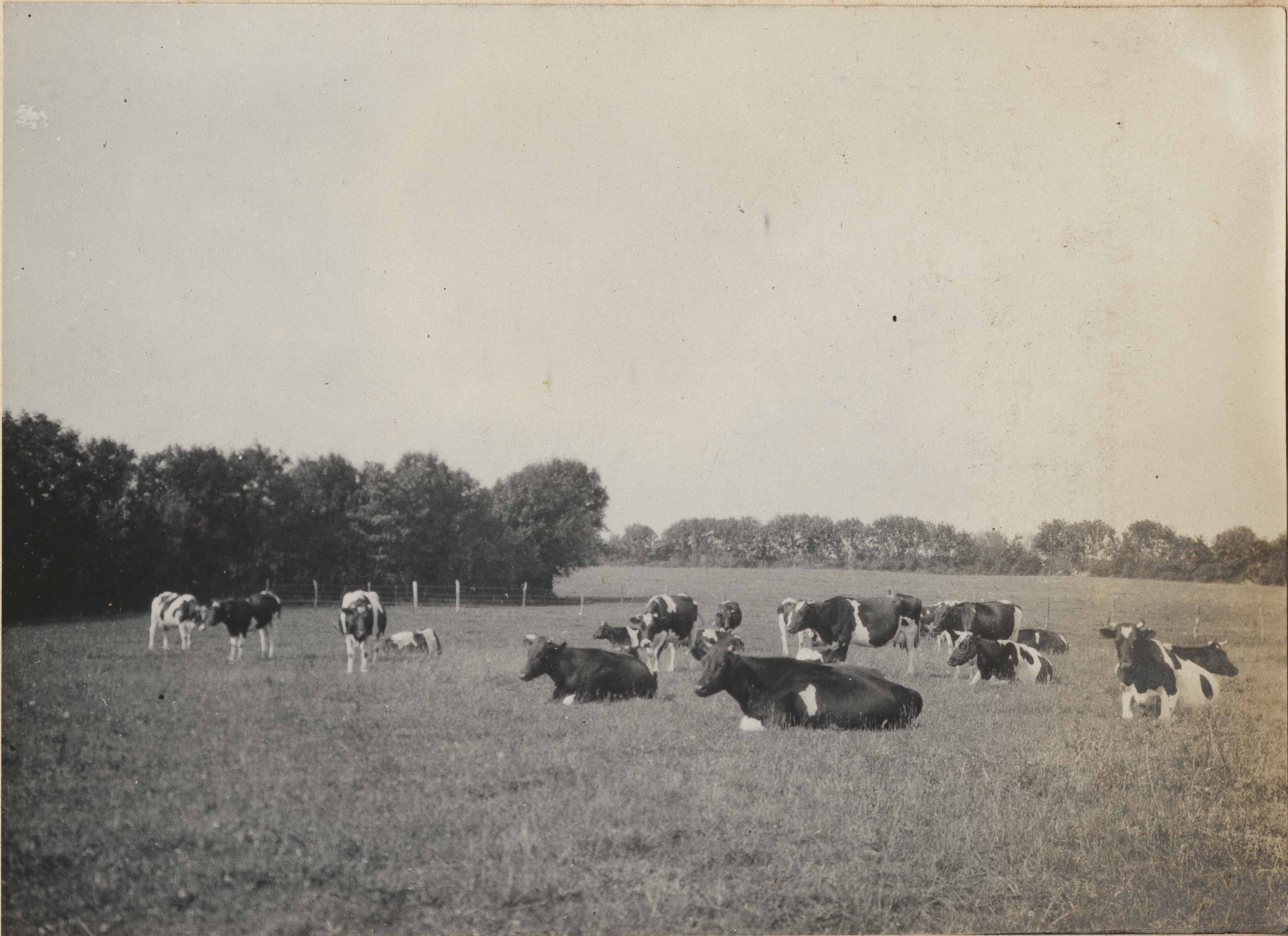 Herd of cows at rest at Altona