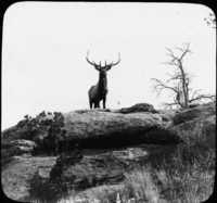 Snapshot of Wild Elk, Montana.