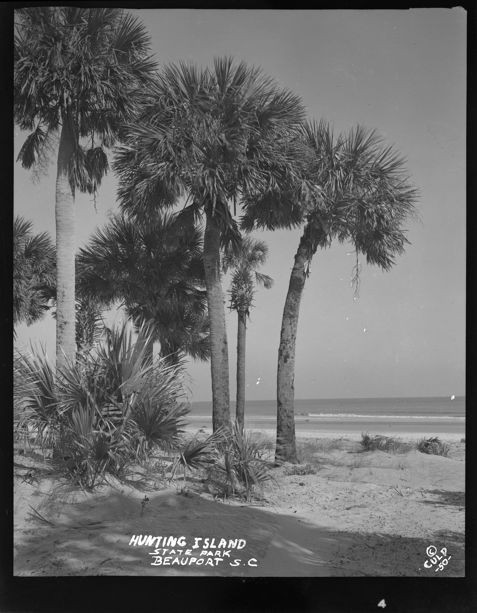 Cluster of palmetto trees at Hunting Island State Park, Beaufort S.C.