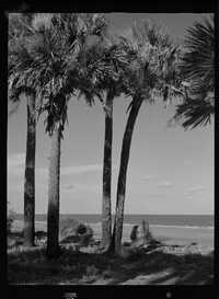 Four palmetto trees at Hunting Island