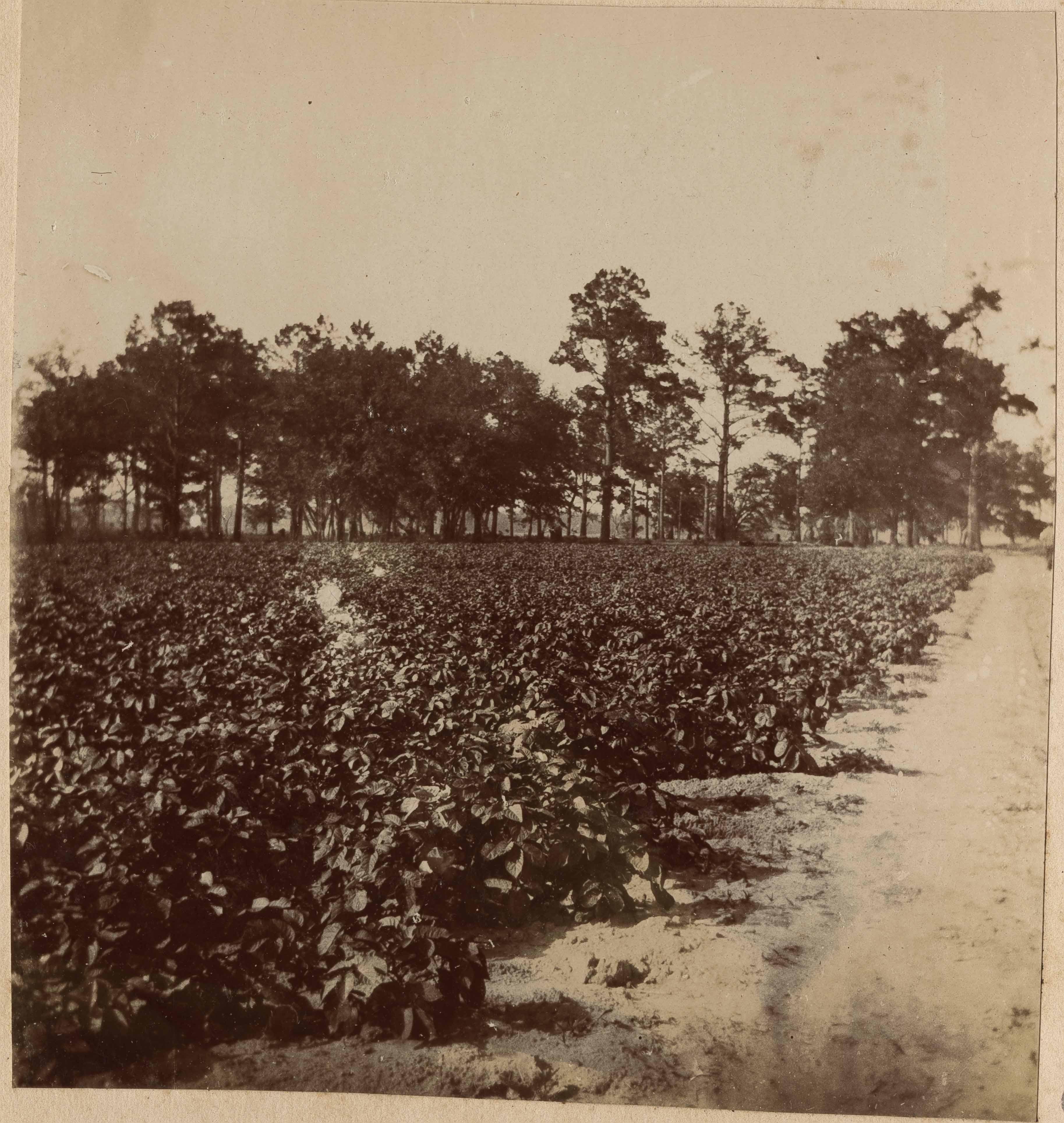 Potato crop in field