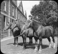 Belgian Draft Horses.