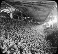 Beets Stored in Sheds at Beet Sugar Factory-Ontario, Can.