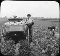 Picking and Loading Cantaloupe Near Buffalo, N.Y.