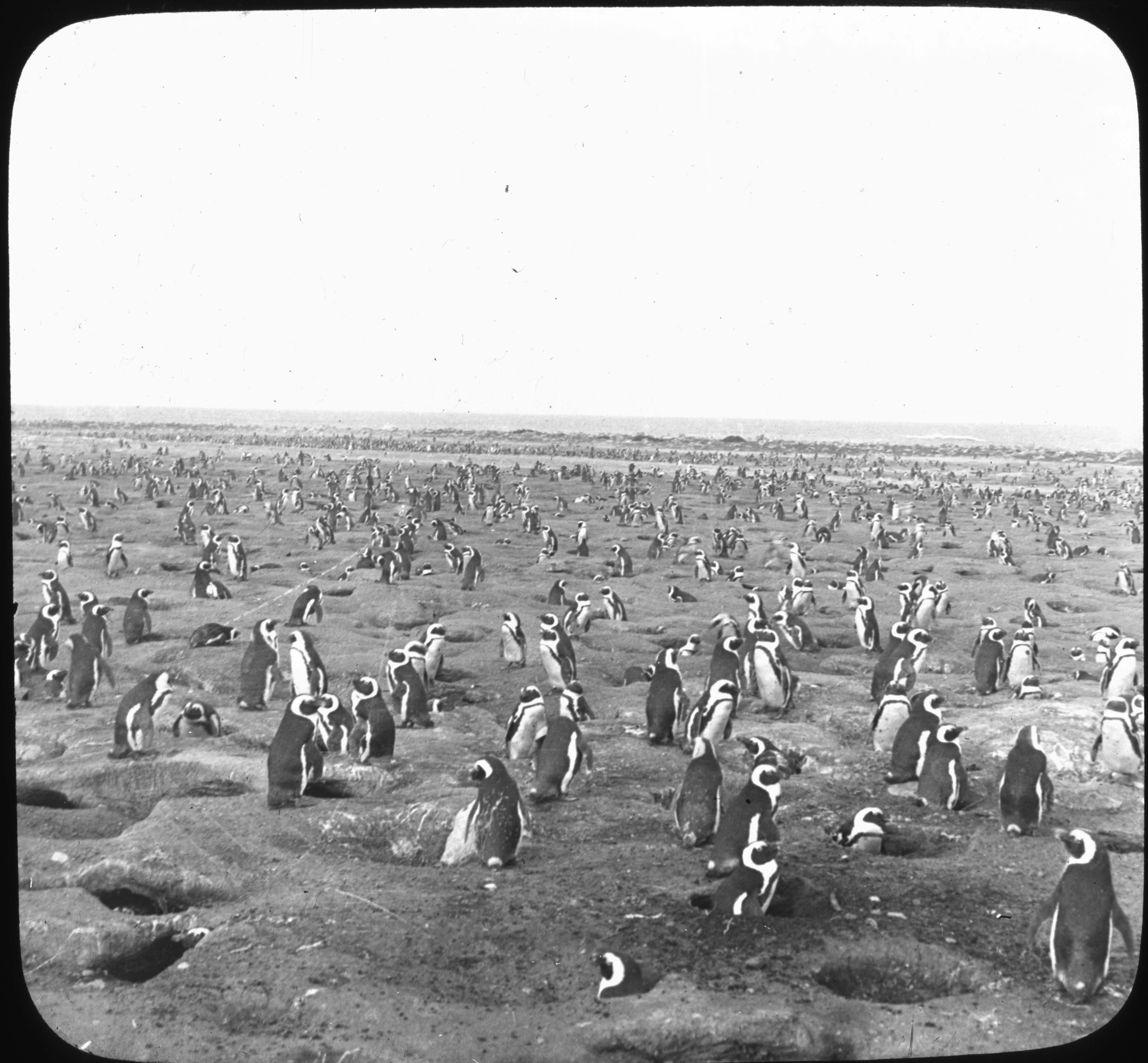 Penguins on Dassen Island Near Cape Town, So. Africa.