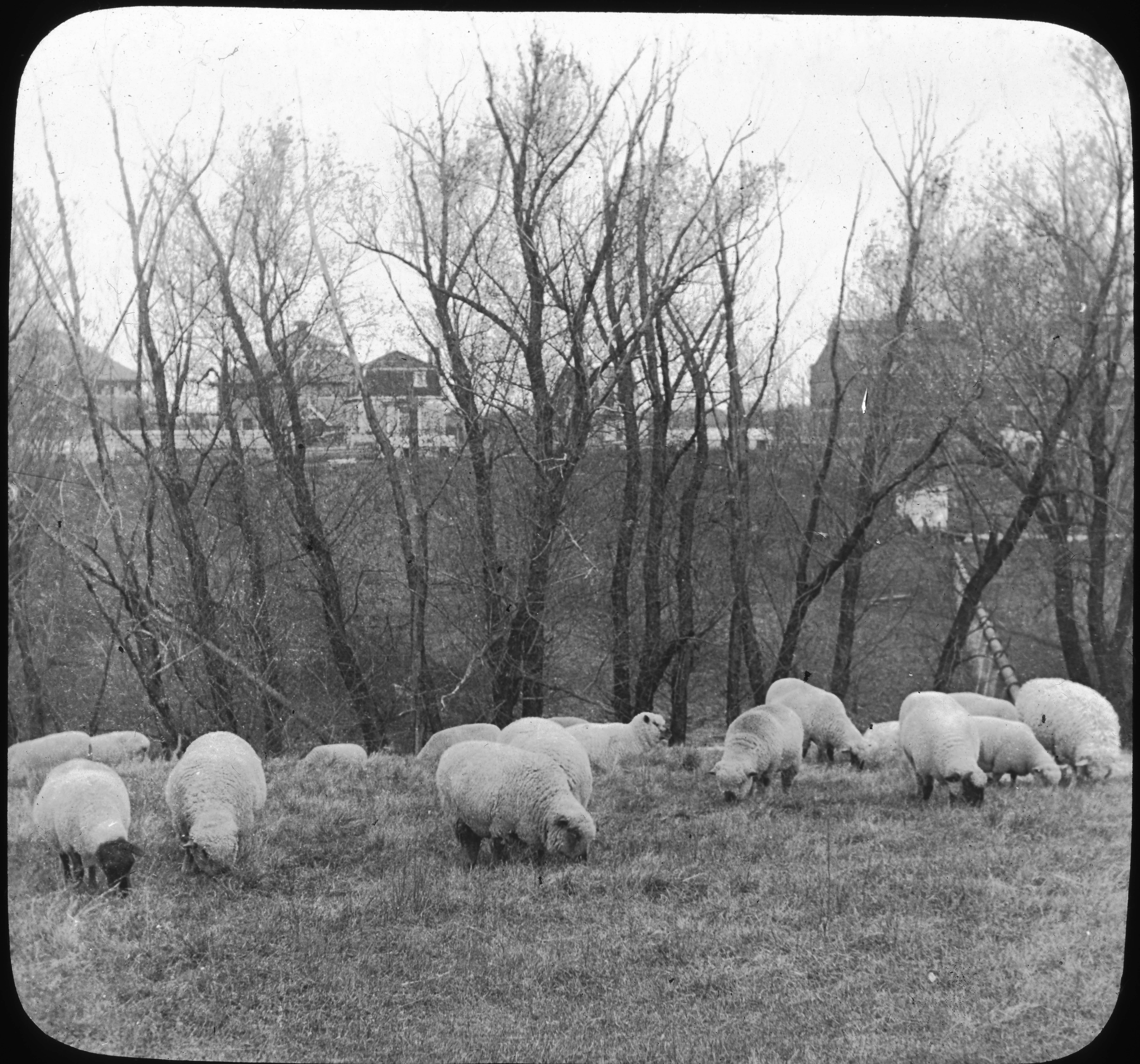 Choice Schropshire, Oxford, and Cotswold Sheep, Ames, Iowa.