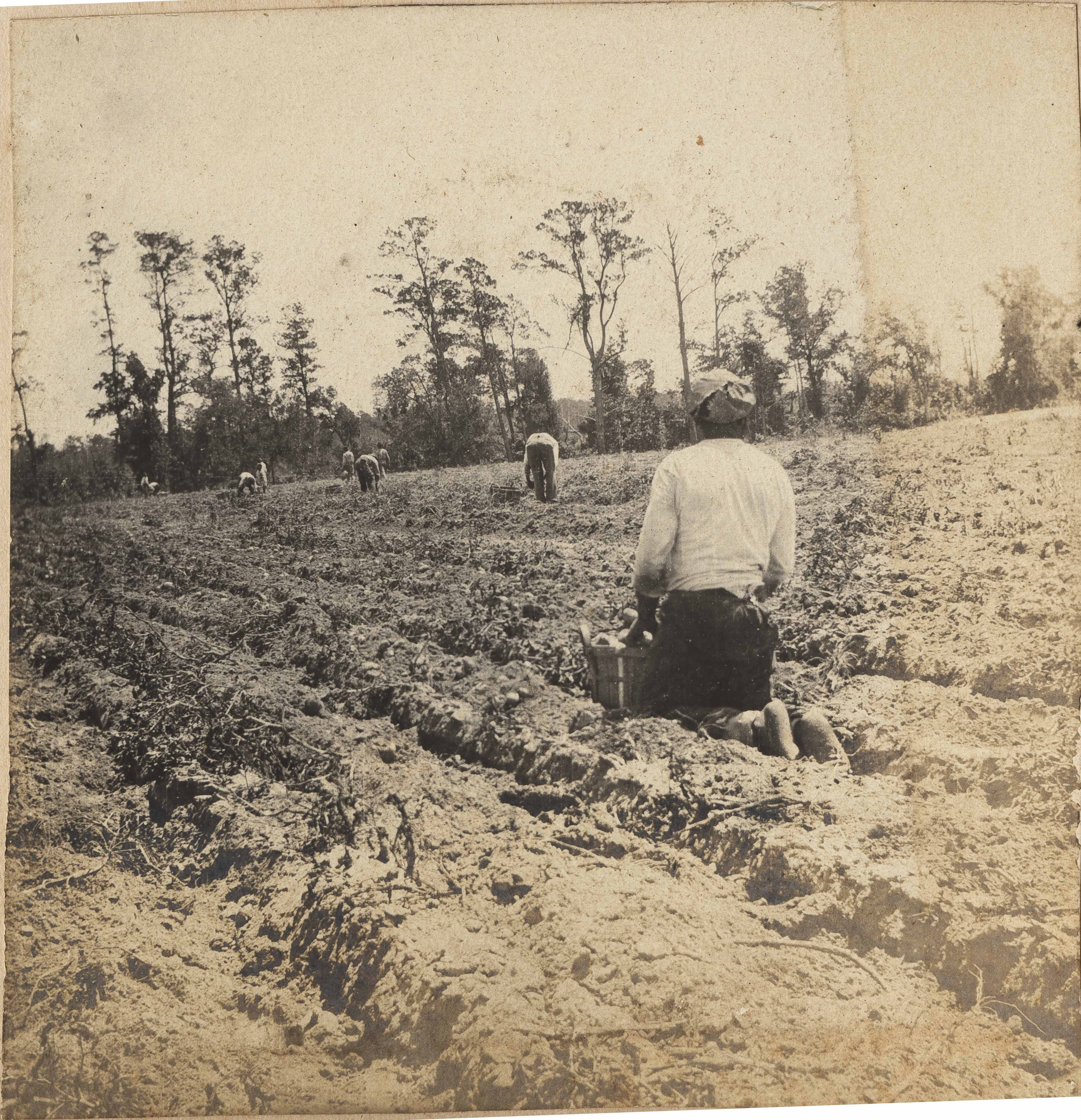 Workers picking potatoes