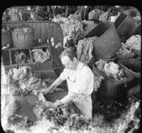 Sorting Wool After Cleaning and Washing, Lawrence, Mass.