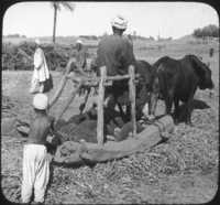 Threshing Beans in the Field, Egypt.