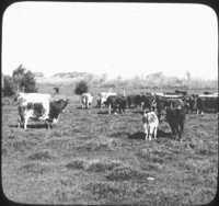 Cattle in Argentina.